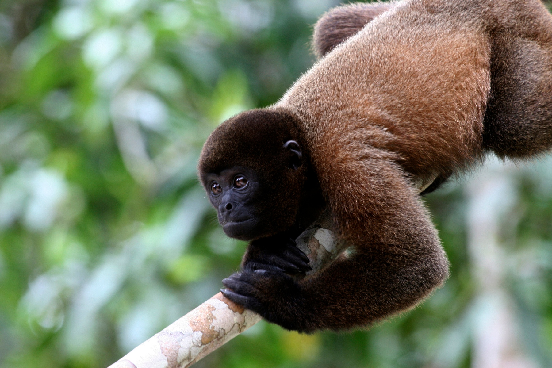 Wooly-monkey2